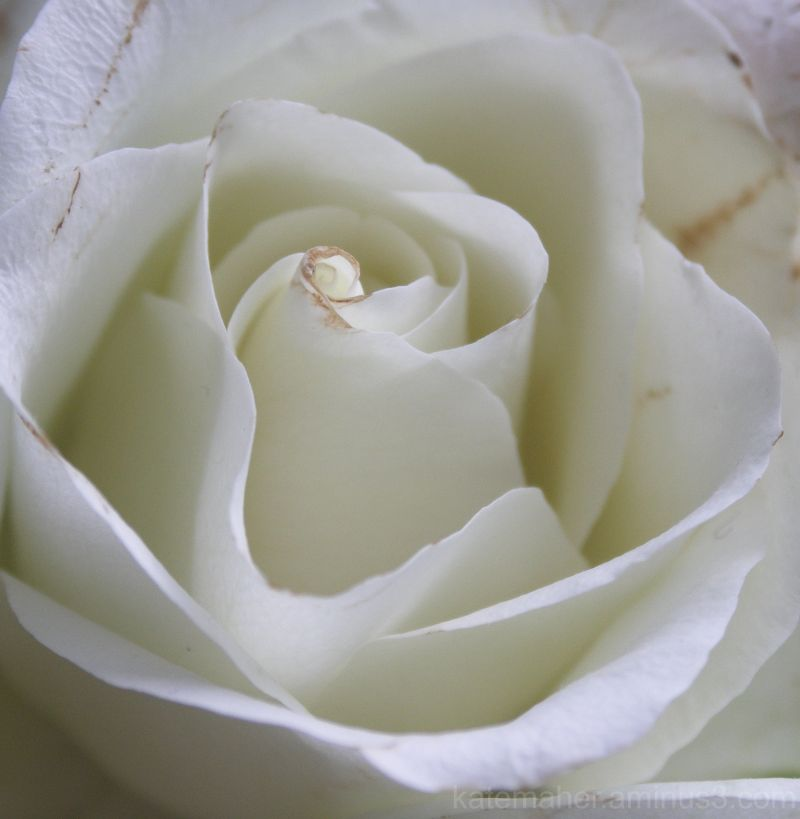 cream rose for today
