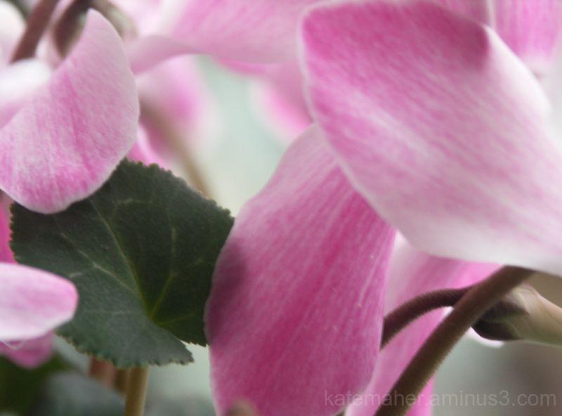 pink cyclamin
