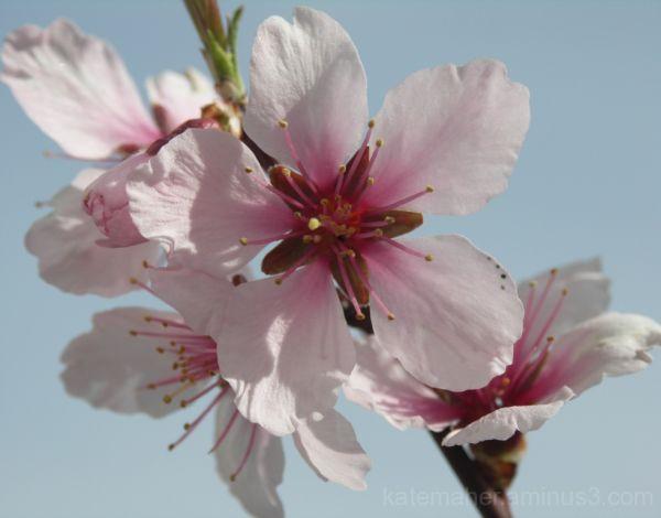 almond blossom close