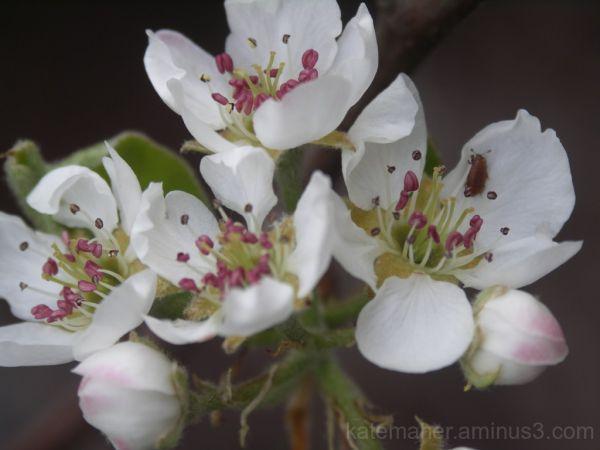 Spring Cherry Blossom Buds & friend!