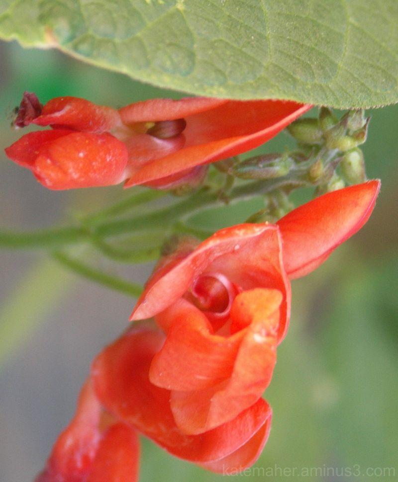french beans - flower
