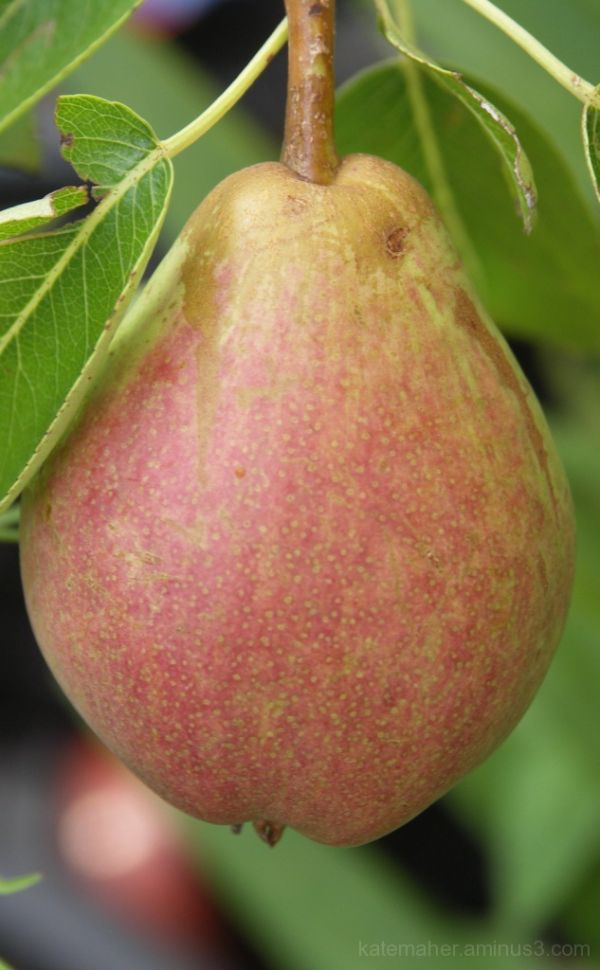 My first pear!!