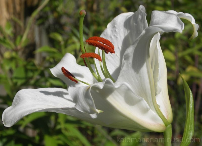 White lilly!