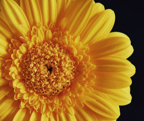 Yellow Gerbera Daisy 2