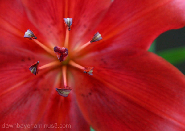 Red Lilly 2