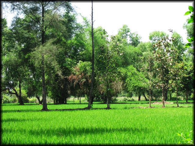 Lush green paddy fields