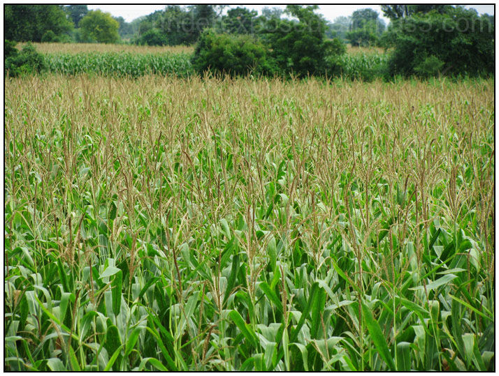Corn fields everywhere
