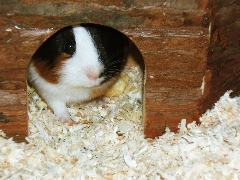 My guinea pig ababy Lise