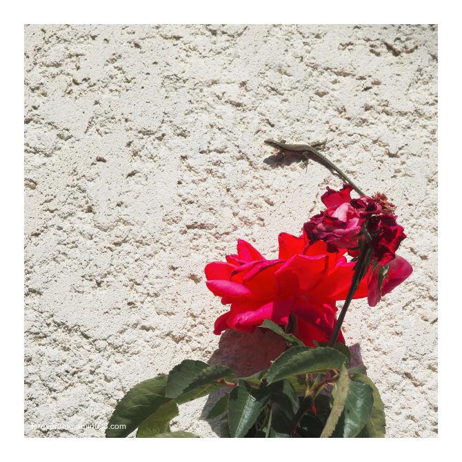 ..UNE ROSE POUR (JIM) MORRISON ...