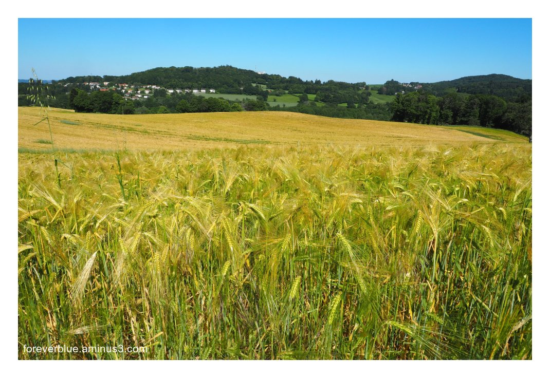 ... FIELDS BEFORE GOLD ...