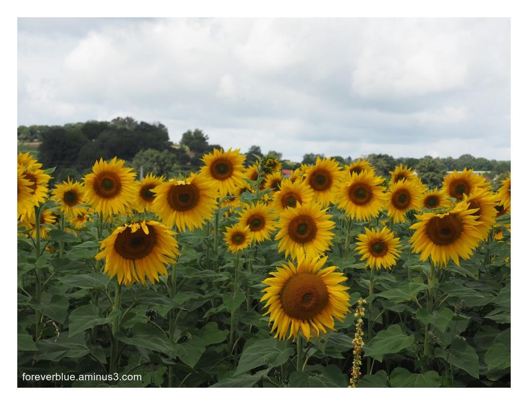 ...SUN(FLOWERS) IN MY MORNING ...