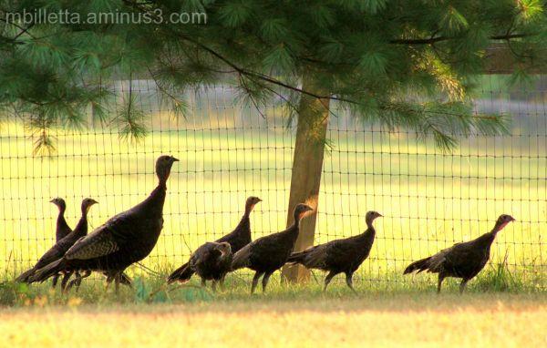 Morning Turkey Walk