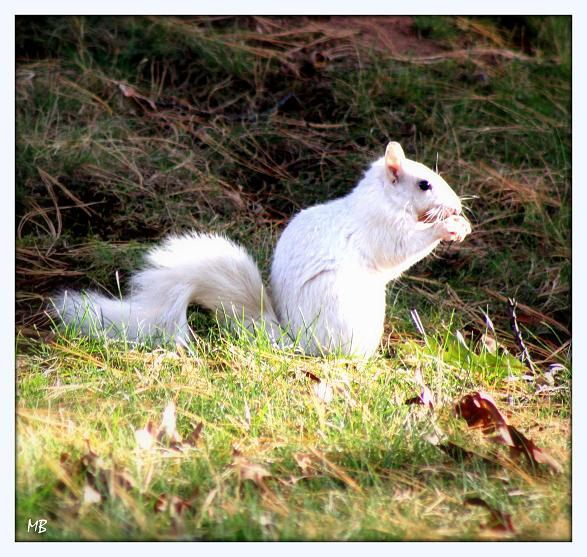 Fluffy White Squirrel