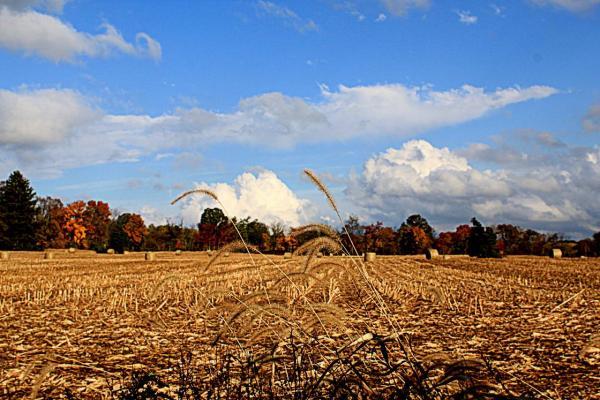 Fall Foxtails