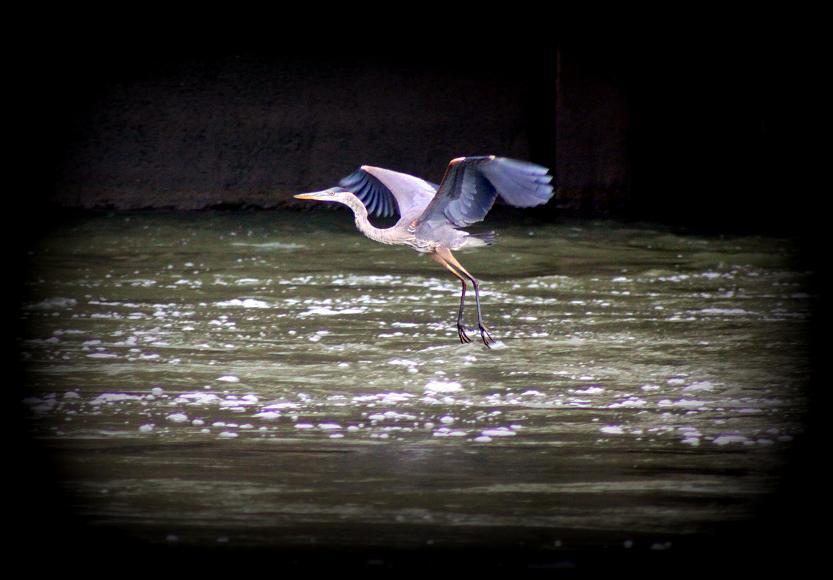 Blue Heron at Conowingo