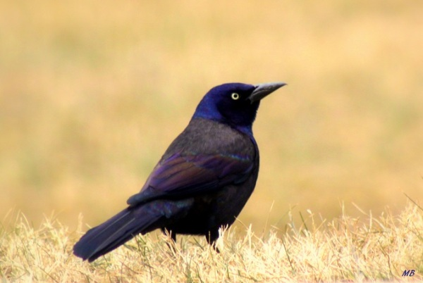 Not so Common Grackle