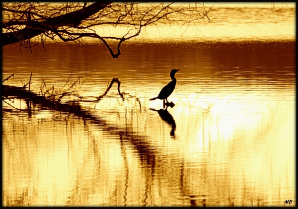 Cormorant at Dawn