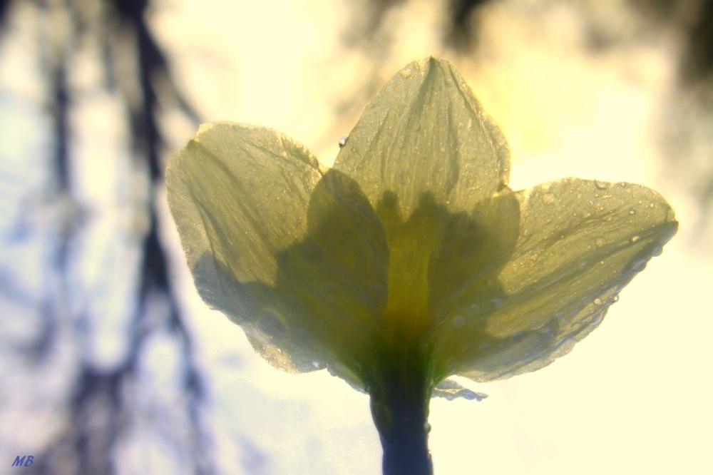 Daffodil View