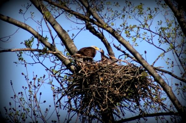 Feeding the Baby Eagle