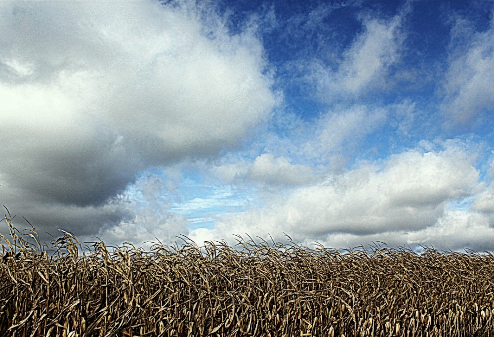 Autumn Cornfield