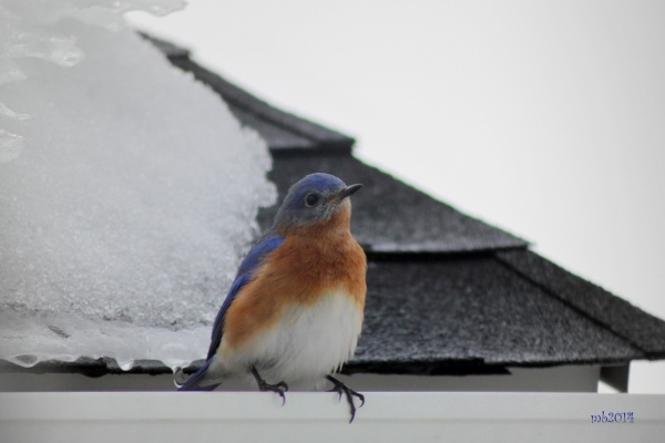 Bluebird on the rooftop