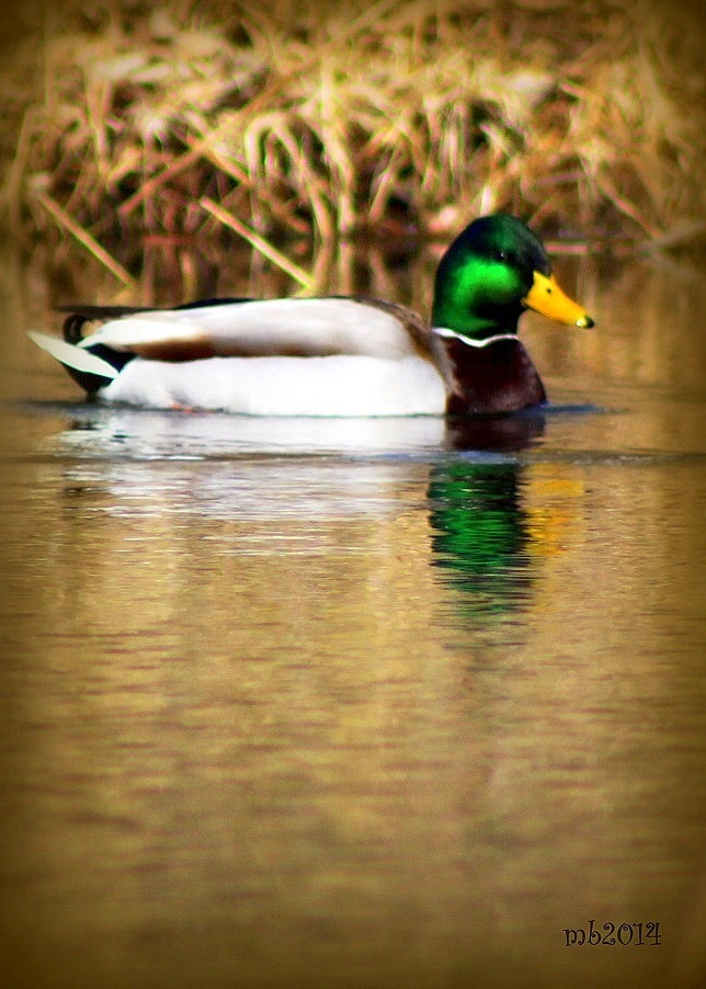 Duck on a Pond