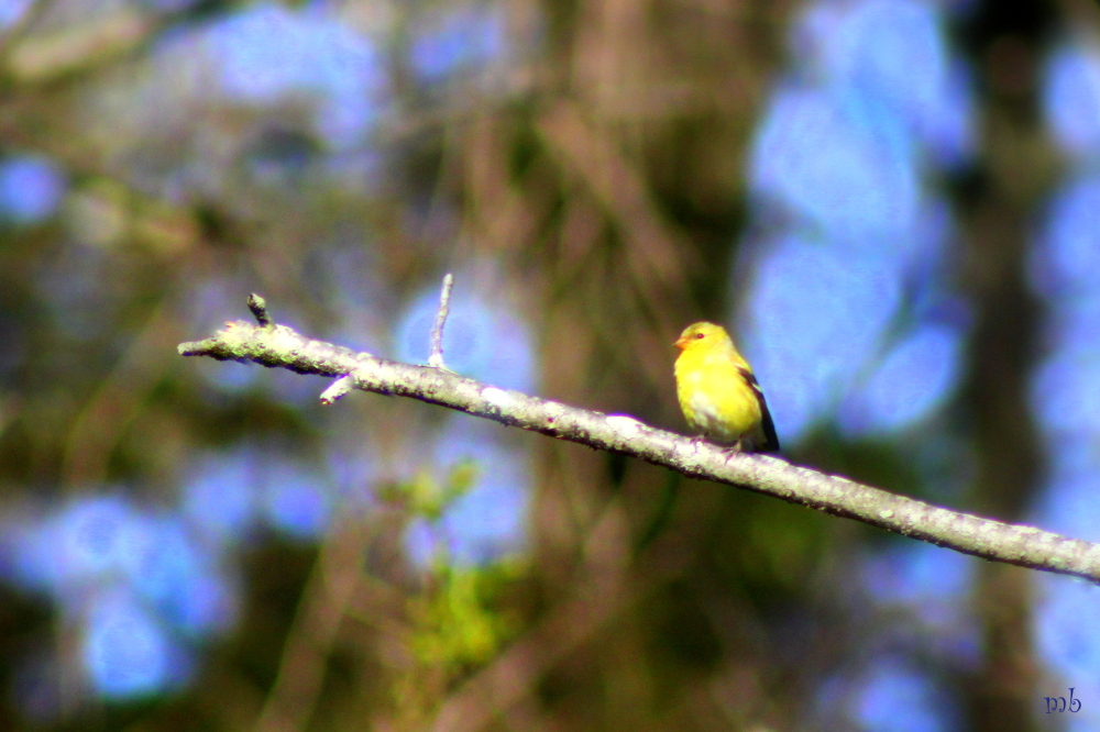 Finch on a Branch