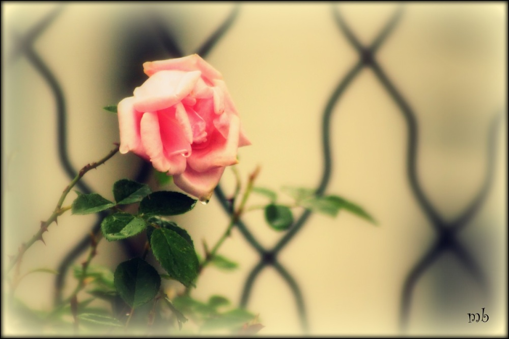 Rose in the Wrought Iron