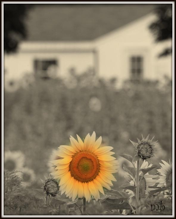 Sunflower and Barn