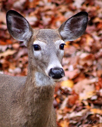 Autumn Doe