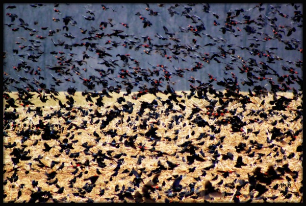 Red Winged Black Birds