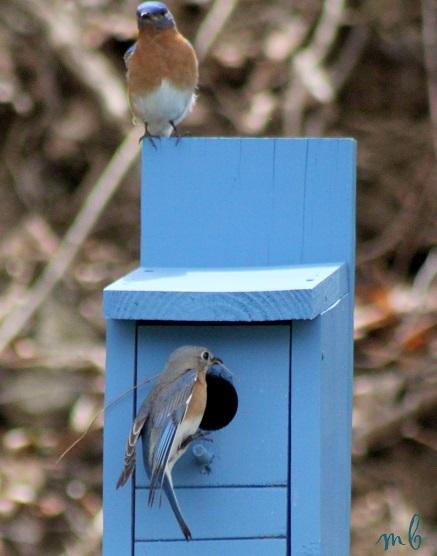 Bluebirds building a nest