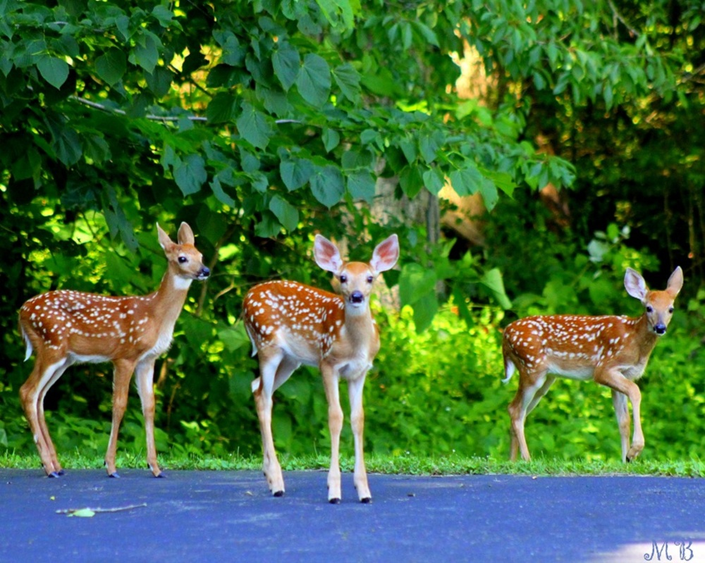 Three Fawns