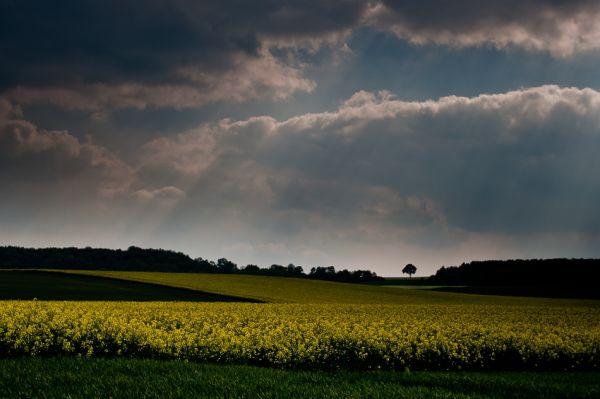 Ciel dramatique et champ de colza