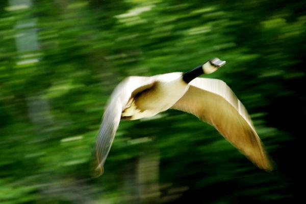 Eye almost missed my...Goose Flight