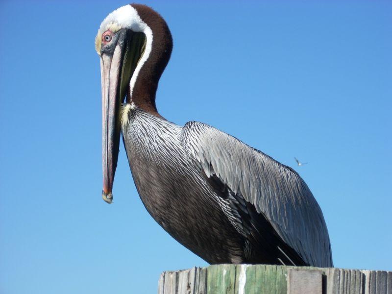 Pelican on Sanibel Island