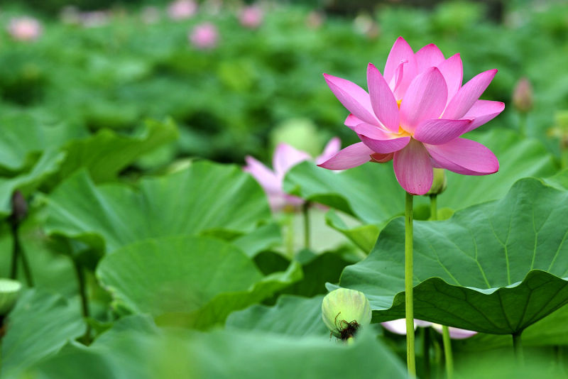 Photography of Lotus