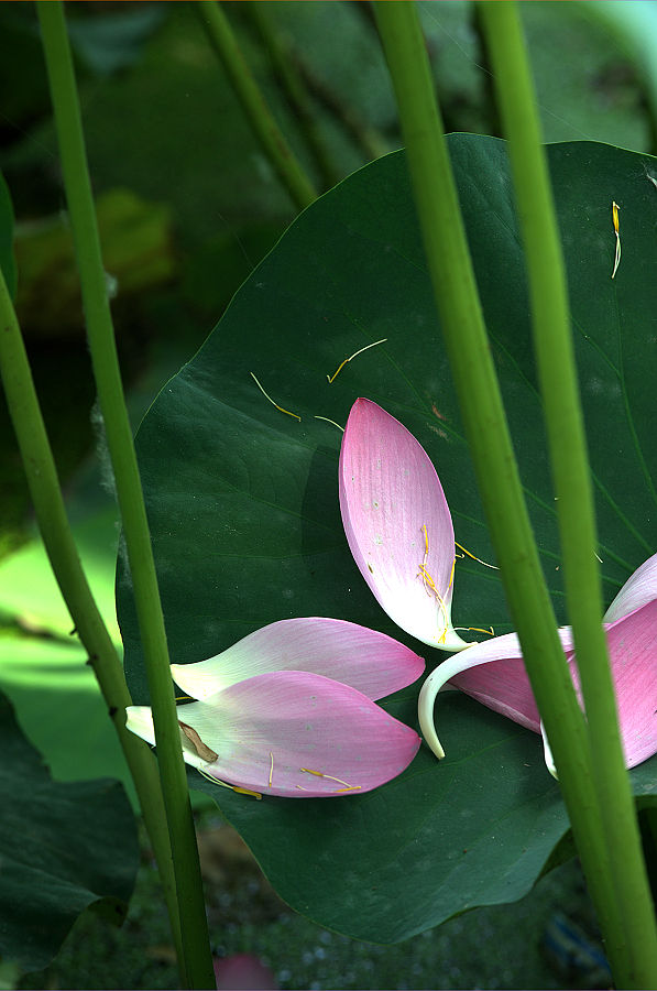 Photograpy of Lotus