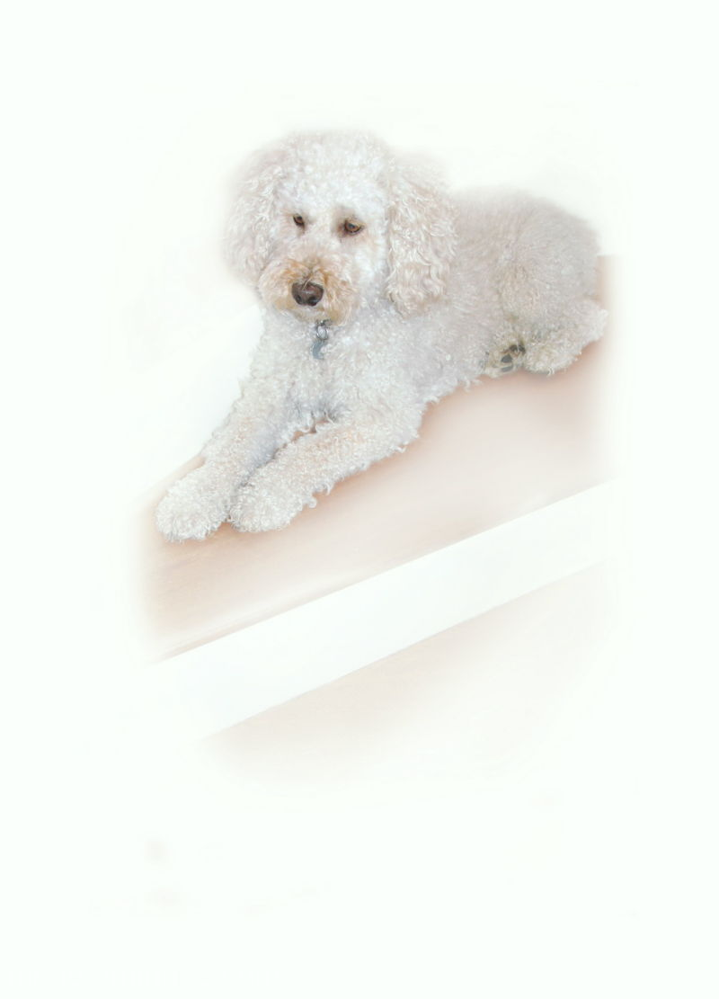 dogs poodles