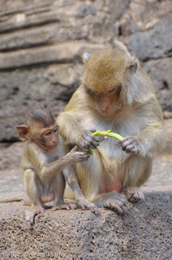 thailand monkeys macaques