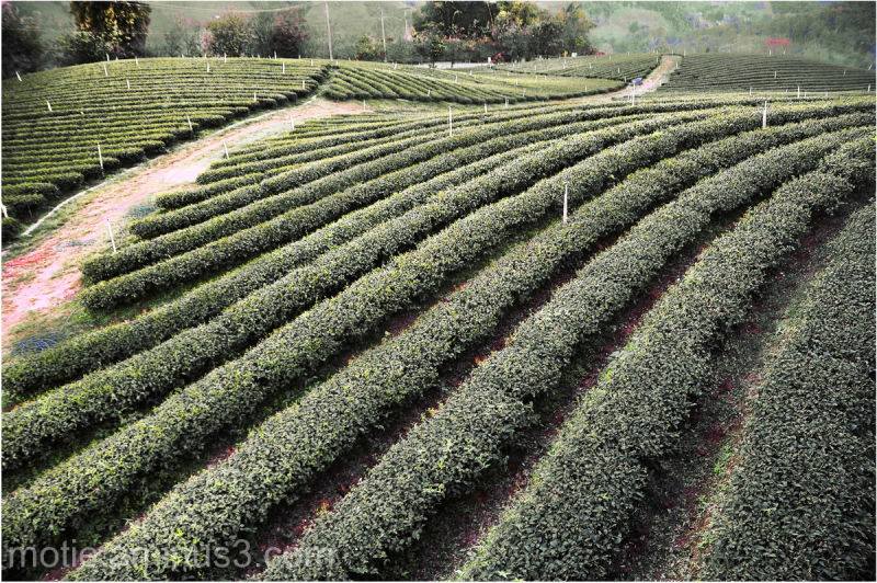 thailand tea landscapes
