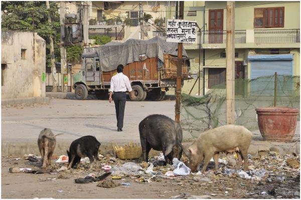 Cochons de plein air / Pigs reared outdoors