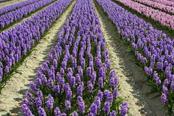 Fields of Hyacinths.... L'intrus!