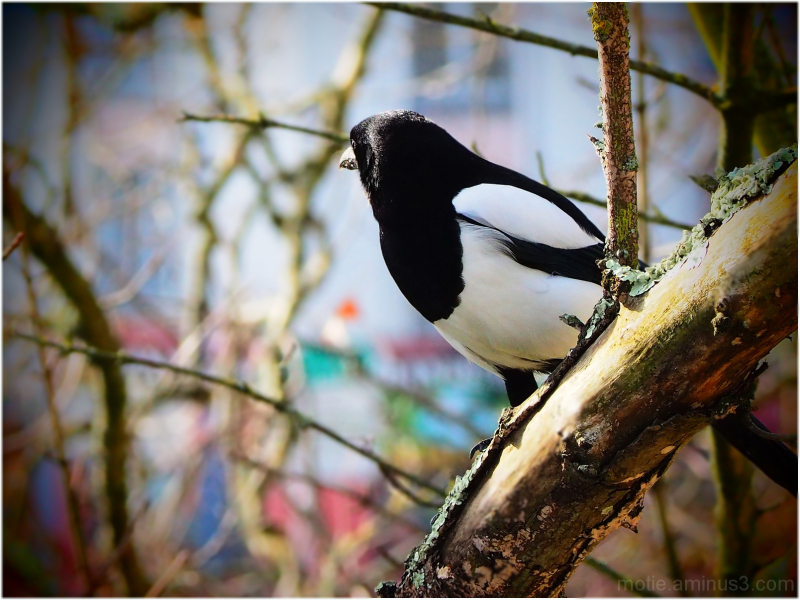 The shy Magpie