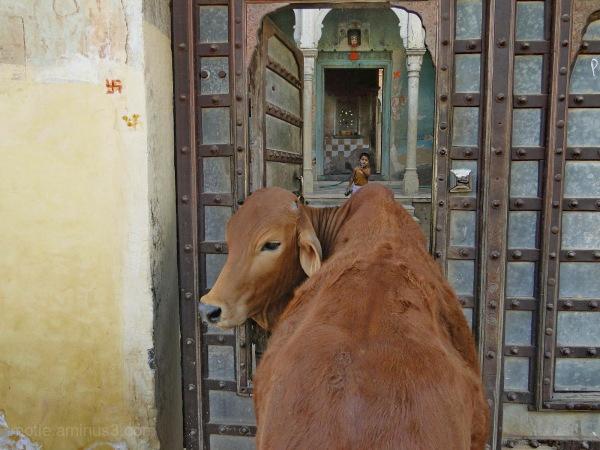 La vache et le prisonnier....