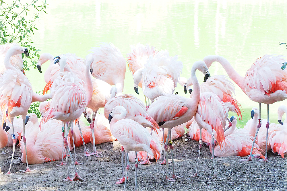 Les flamants roses de cuba / Pink Flamingo