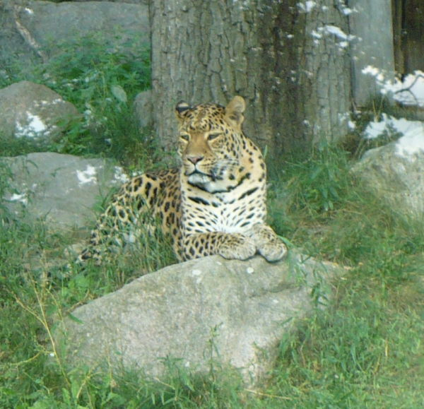 Leopard i Parken Zoo