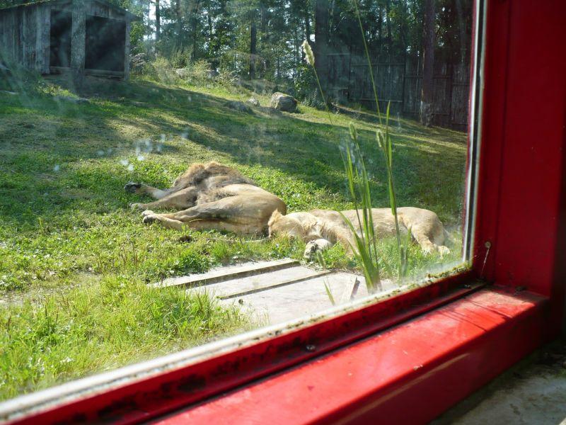 Lejon ligger i solen och sover