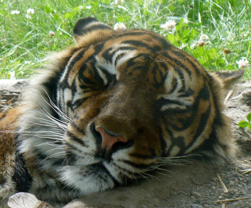 Sovande tiger på Parken Zoo