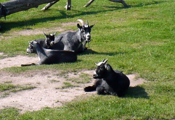 Getter på Parken Zoo 3